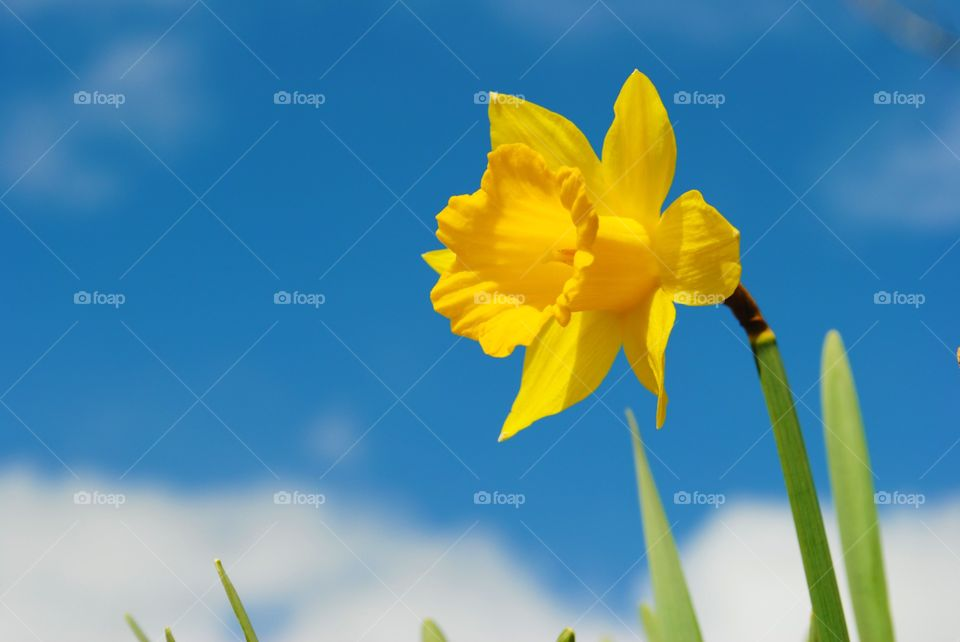 Yellow daffodils against a blue sky in wales