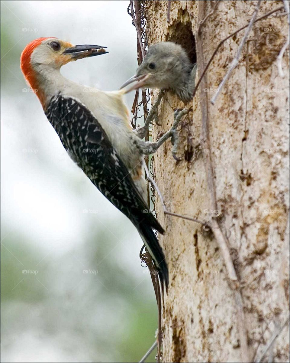 The first signs of Spring in my neighborhood. A busy Red-Bellied Woodpecker parent is ready to feed her hungry chick. Her little chick is so anticipating his meal that he pulls her belly feathers to encourage her to hurry.