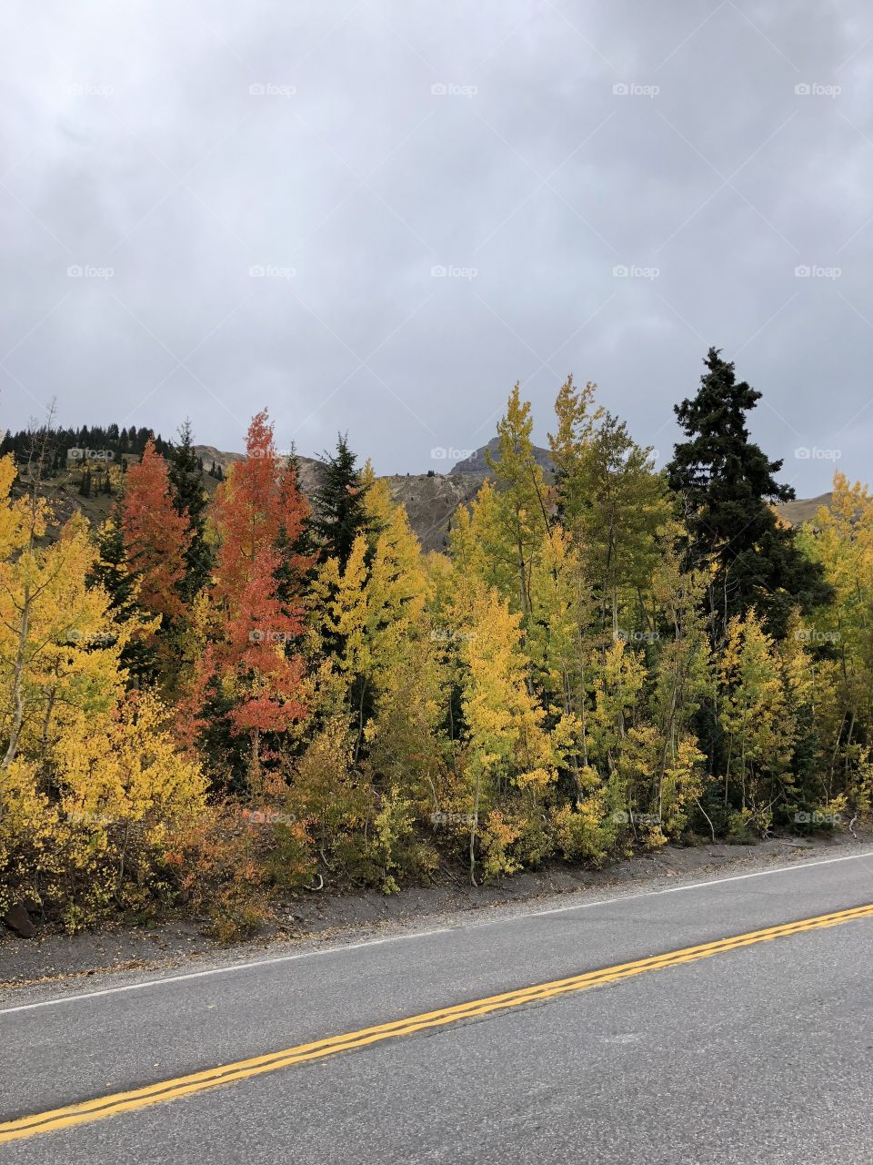 Aspen trees changing for the fall