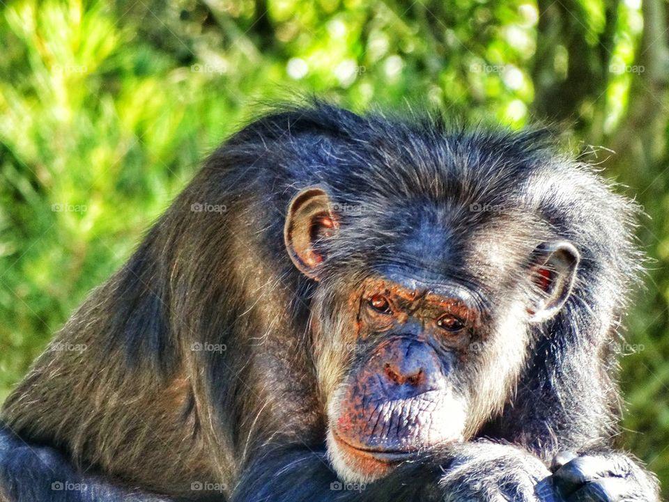 Intelligent Chimpanzee. Thoughtful Primate