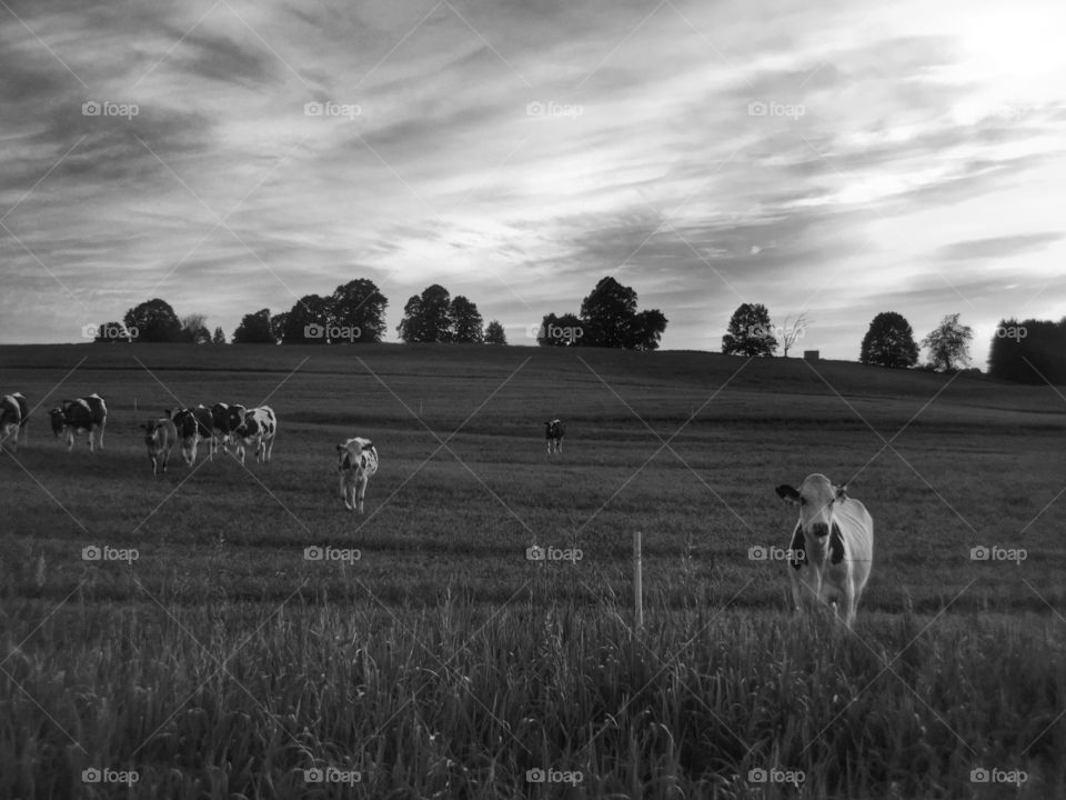 Black and white pasture
