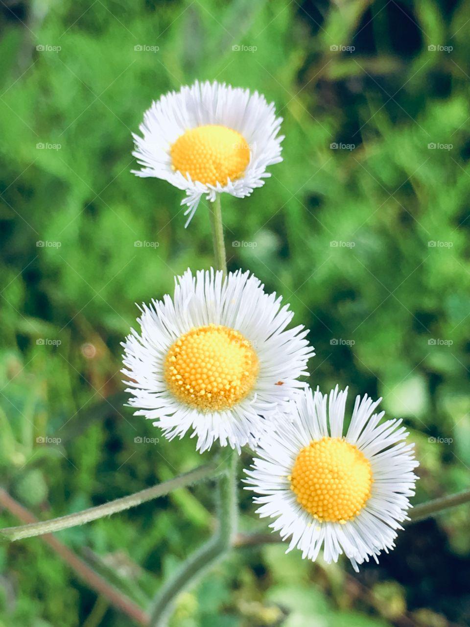 Little white daisy looking flowers