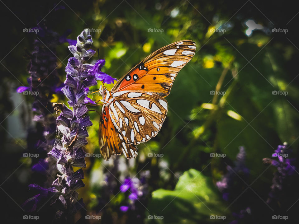 Beautiful orange butterfly on a purple mystic spires flower in the dark shade.  The butterfly wings showcase nature's shapes,  patterns, stripes, and designs.