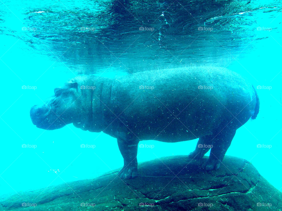 Underwater view of hippopotamus standing on rock