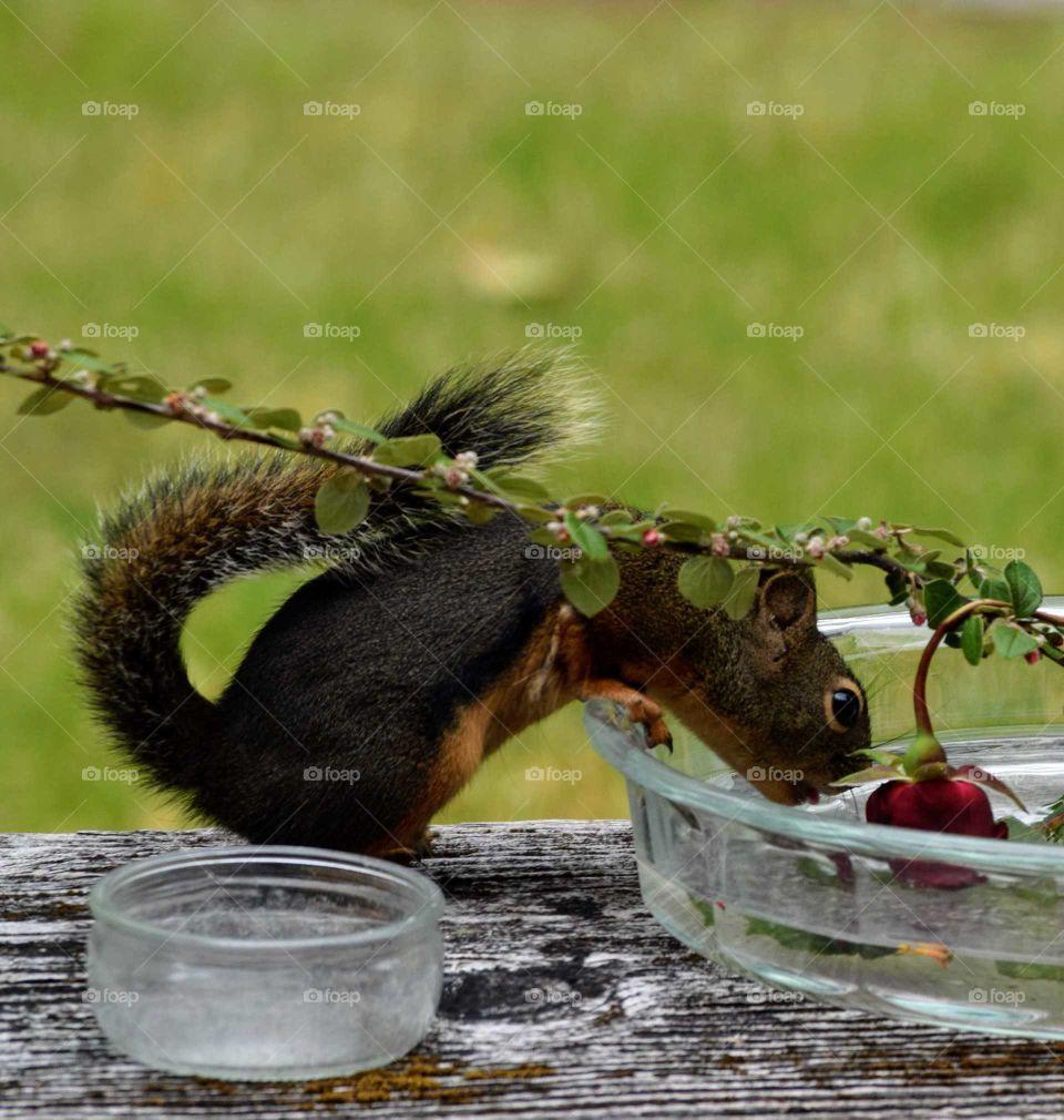 the Douglas squirrel is drinking water out of the flower dish. June 7th 2019