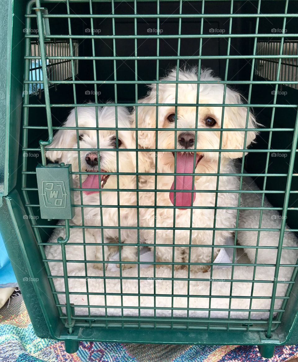 Putter and Yoyo on the way to the groomer!
