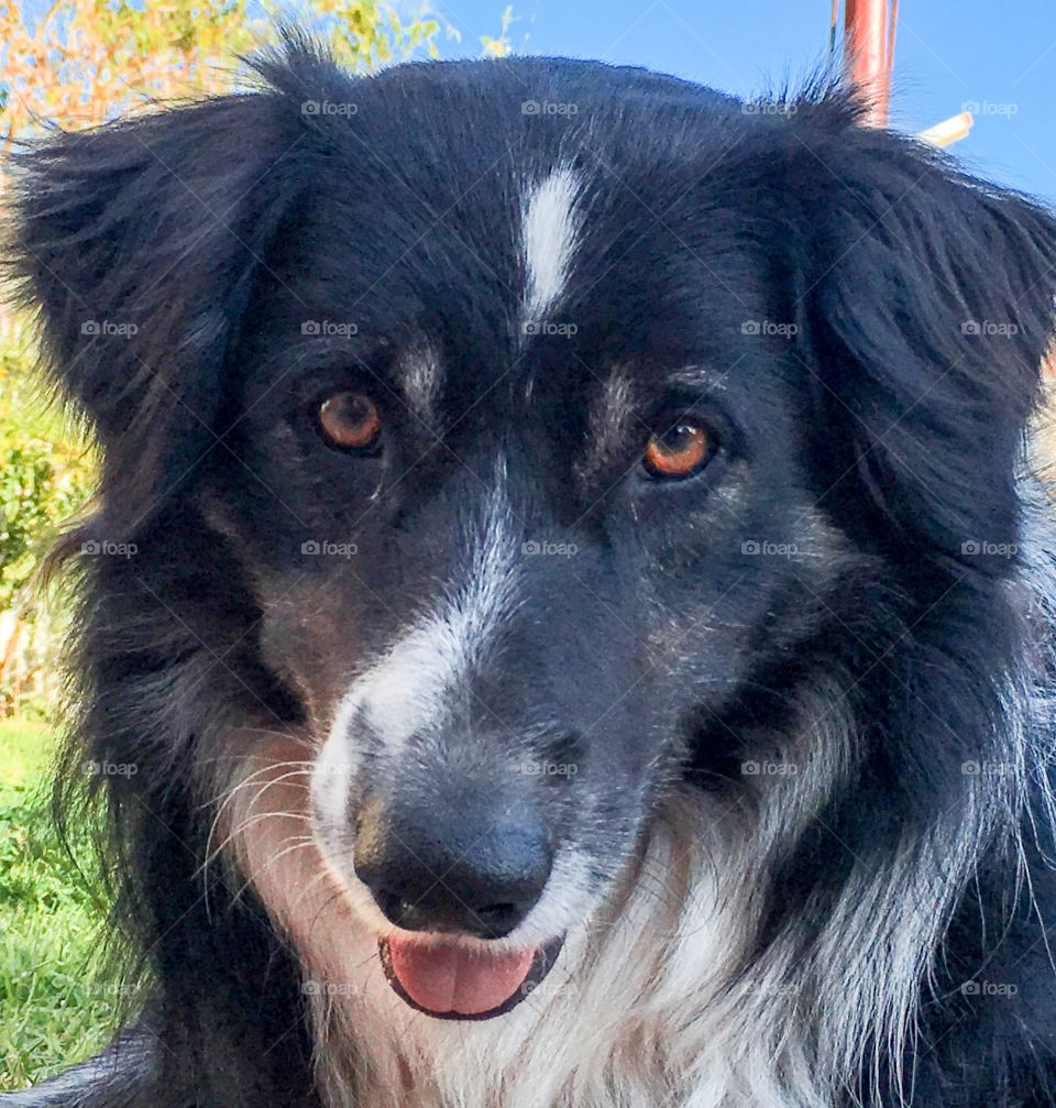 Close-up of border collie mouth