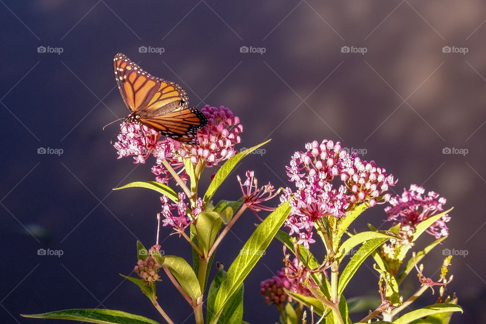 A frame full of color with a monarch butterfly collecting nectar from a swamp milkweed. The pond water in the background reflect a purplish color in the early morning light. Yates Mill County Park, Raleigh, North Carolina.