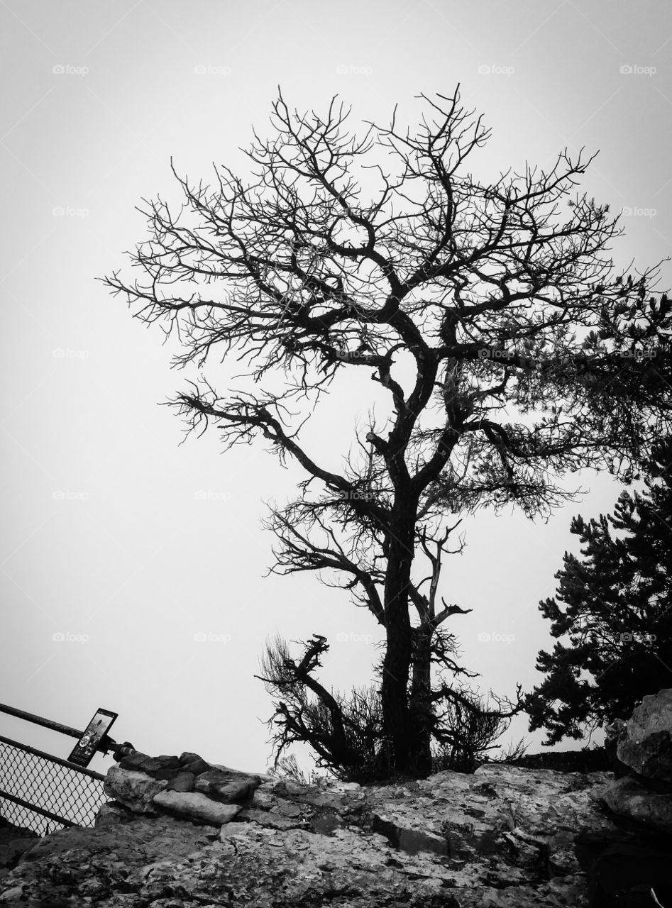 Enveloped in cloud. Tree surrounded by a cloud at Yavapai Point, Grand Canyon