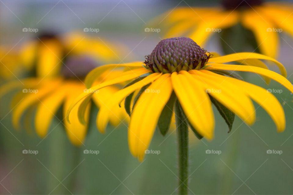 Close-up of black-eyed susan flower