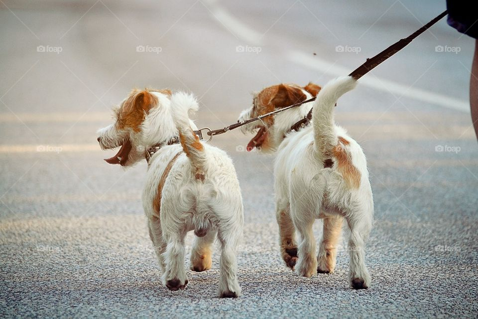 Dogs on walk