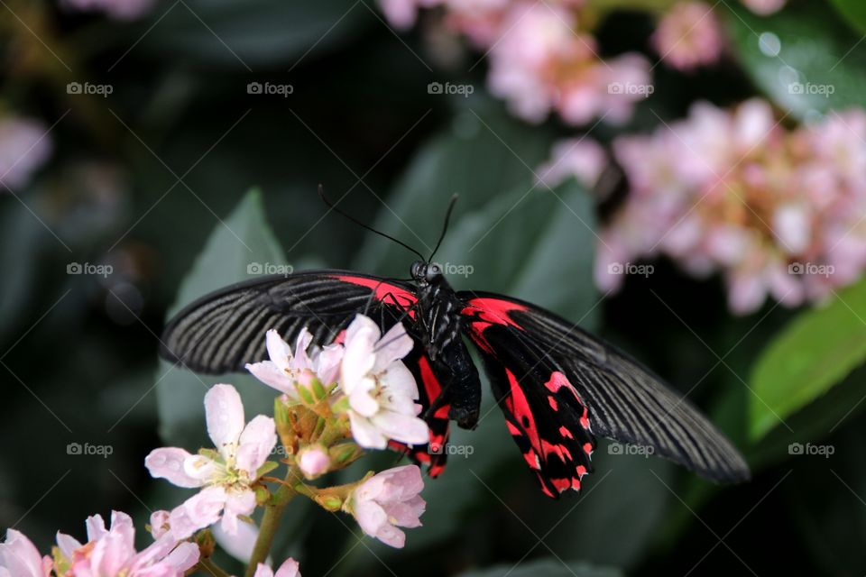 A hot bright pink and black butterfly wings extended on delicate pink blossoms