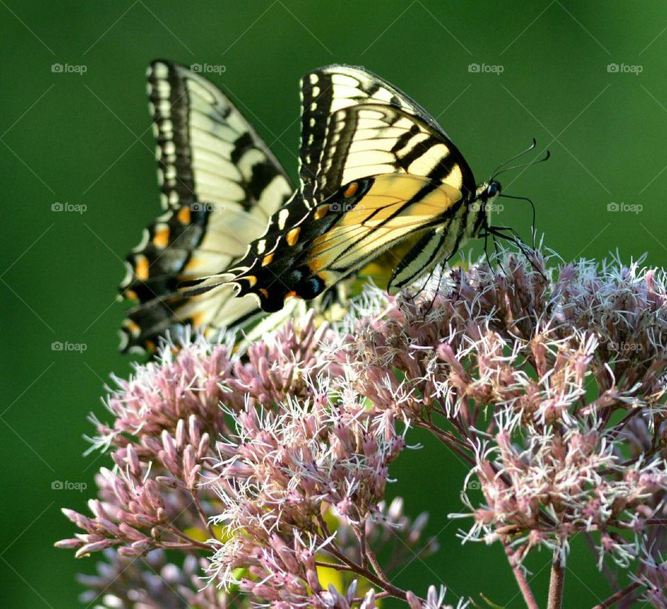 Two Tiger Swallowtail Butterflies