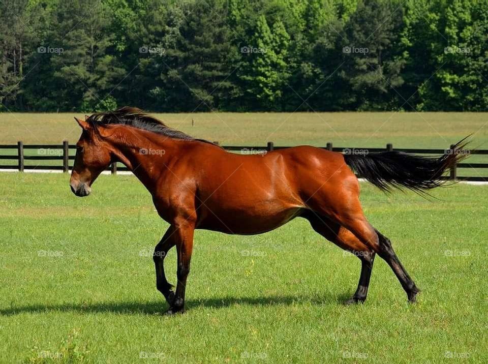 Quarter horse running on grassy field at farm