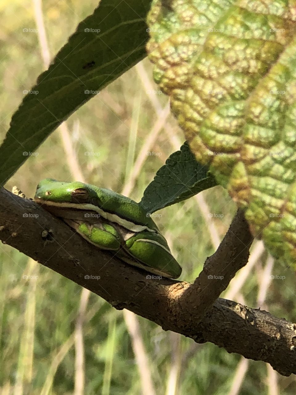 Tree frog taking a nap