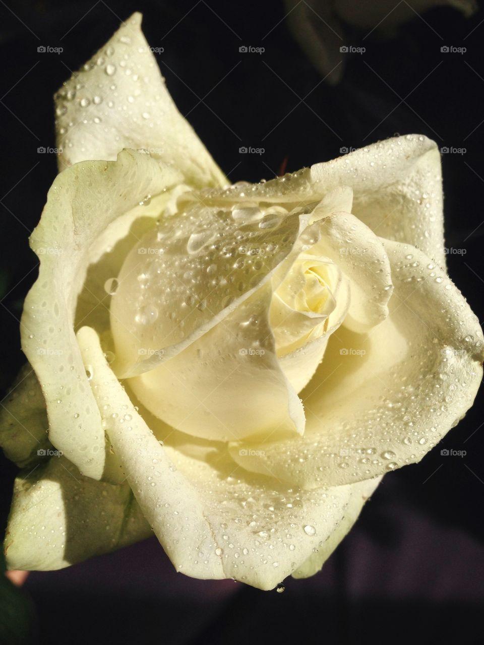 Rose . Raindrops on the flower