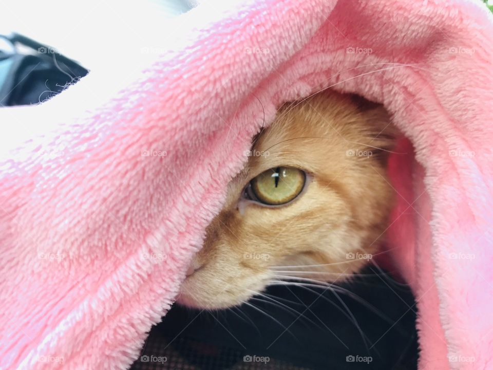 Gorgeous orange tabby cat looking out from underneath pink blanket with beautiful green eyes!