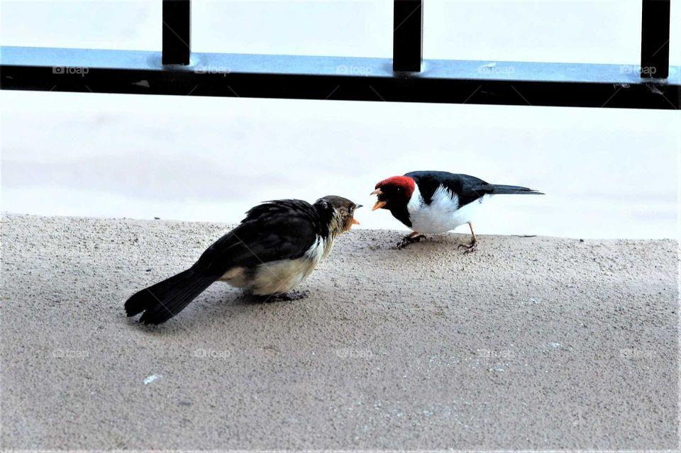 two birds fighting on the balcony in Kona Hawaii October 2018