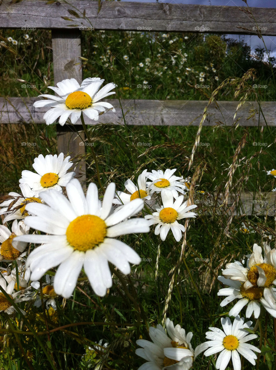 Foap wild daisies stock photo by emmam wild daisies izmirmasajfo