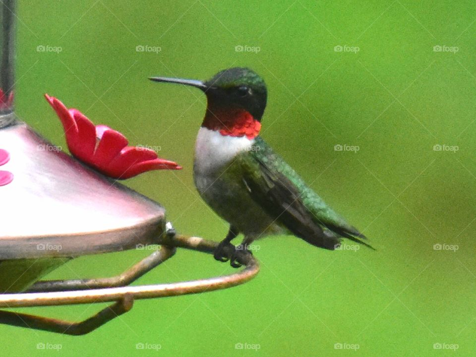 he sits with great posture on the feeder male red throated hummingbird