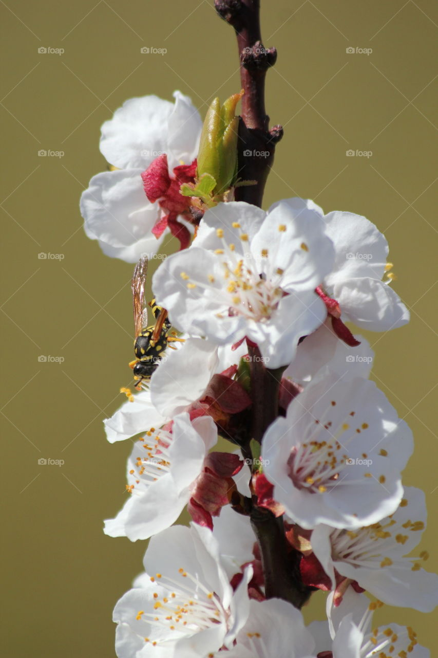 wasp gathering nectar of apricot tree flower