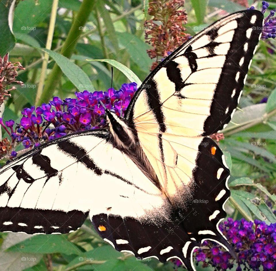 Swallowtail butterfly. The beautiful Swallowtail.