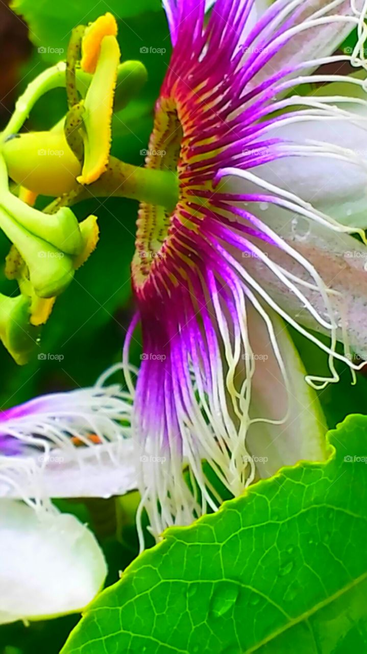 """Pink Feathered Passion Flower"". The components of the passion flowers are said to tell the story of the crucifixion of Jesus Christ"
