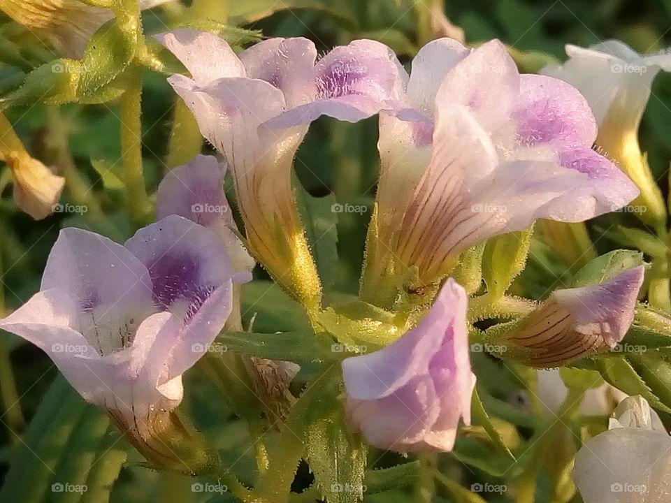 flower 2018-01-17 022  #আমার_চোখে #আমার_গ্রাম #nature #flower  #eukaryota #plantae #angiosperms #eudicots