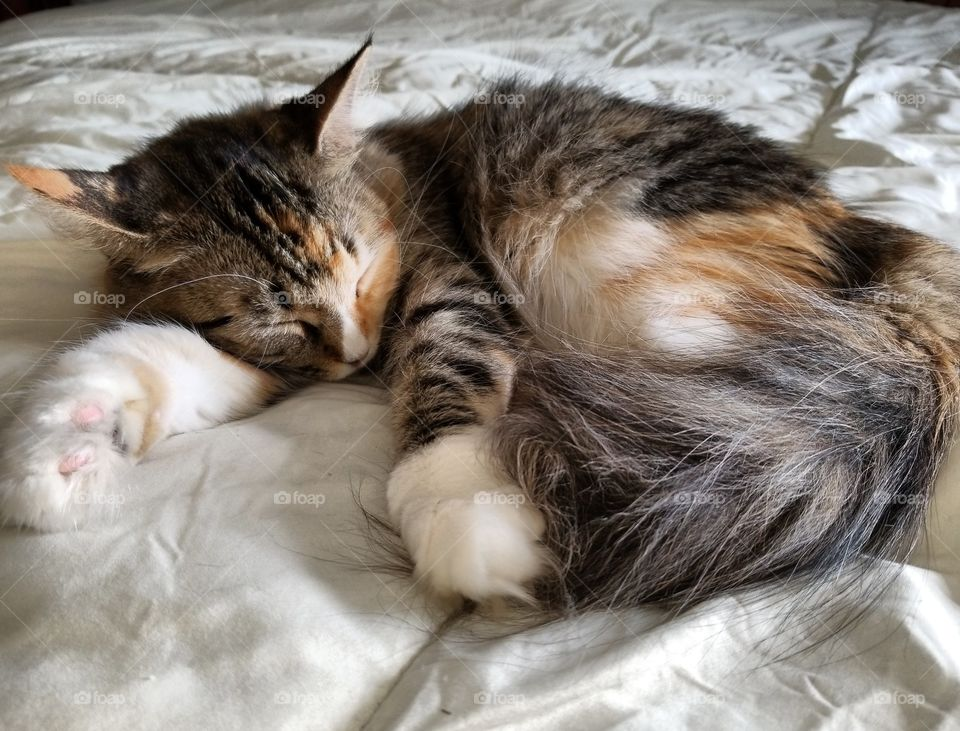 Fluffy Calico cat sleeping on the bed