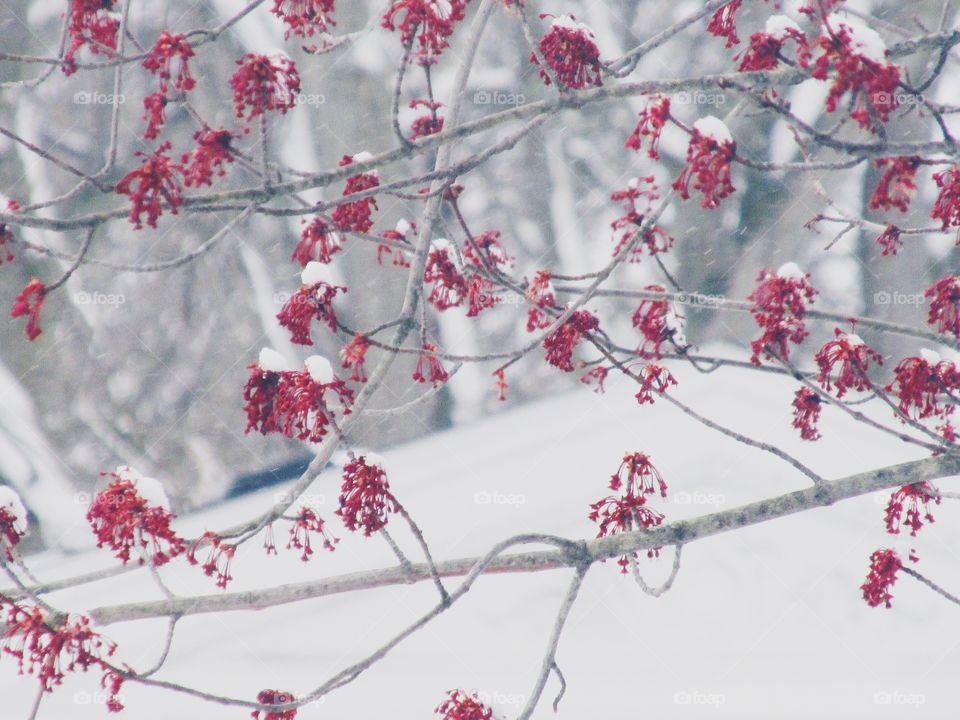 Snowy Tree Blossoms