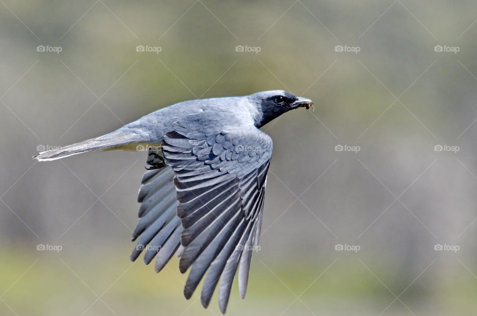 Black faced cuckooshrike with a insect taken in Perth Western Australia