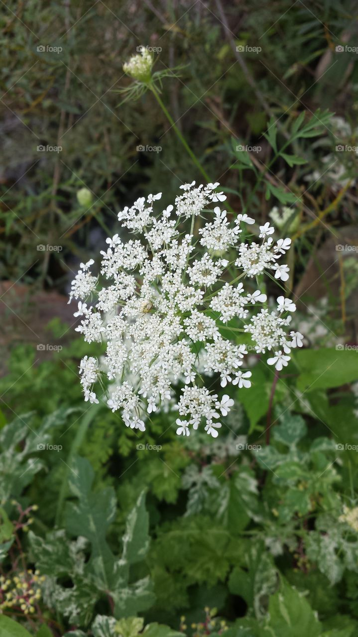 Yarrow's Beauty. Gorgeous wildflower growing during the summer in Minnesota & Wisconsin. The edges of the roads are covered.