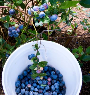 Fresh picked blueberry in bowl