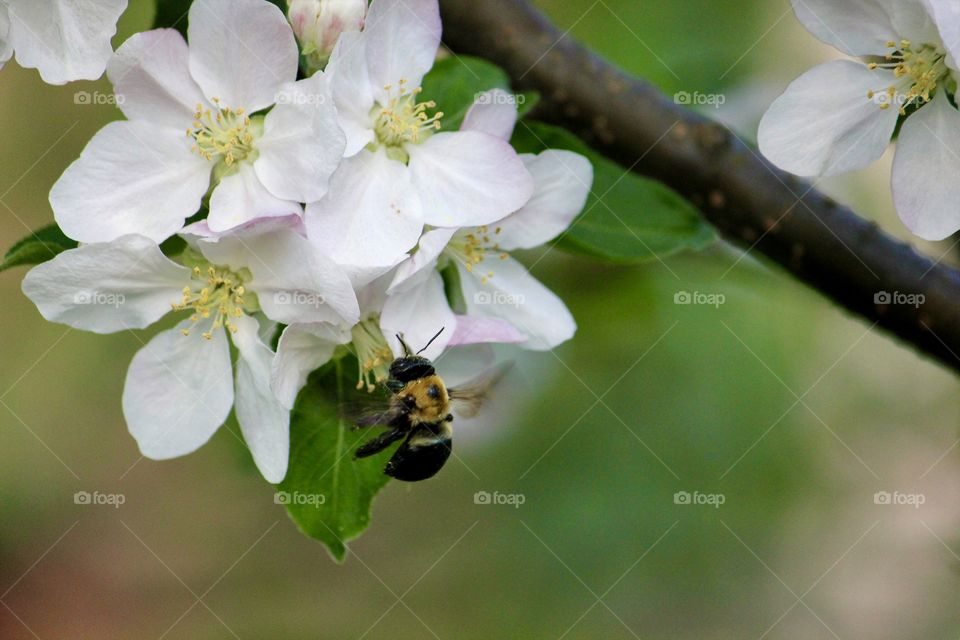 Apple flowers & bee
