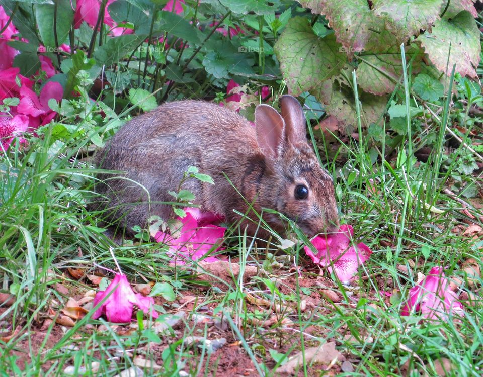 Young rabbit eating flower petals.
