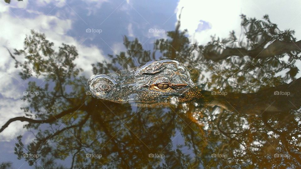 High angle view of alligator on water