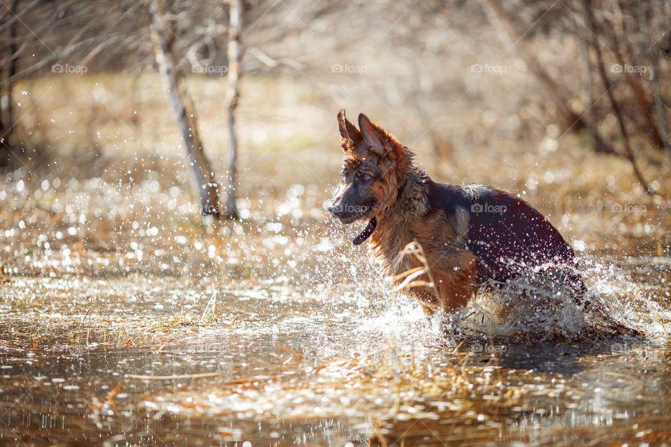 German shepherd dog outdoor spring pond