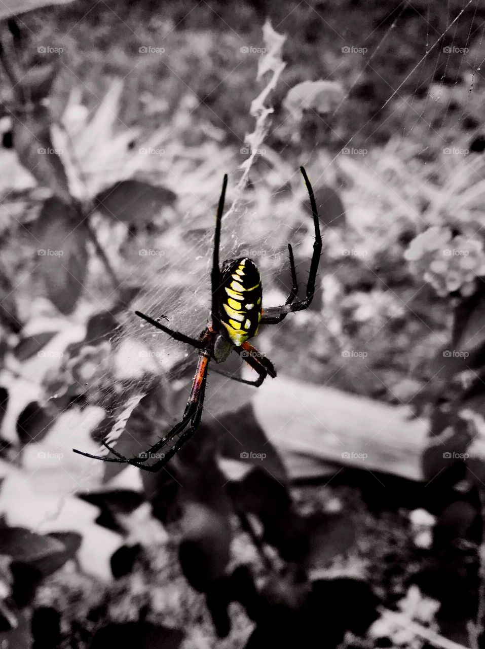 Color pop or color splash of a black and yellow garden spider or writing spider resting on her web in the flower garden
