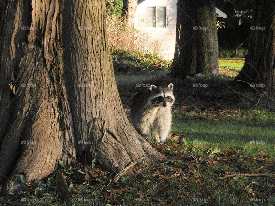 The burglar. The burglar, a raccoon in the yard.