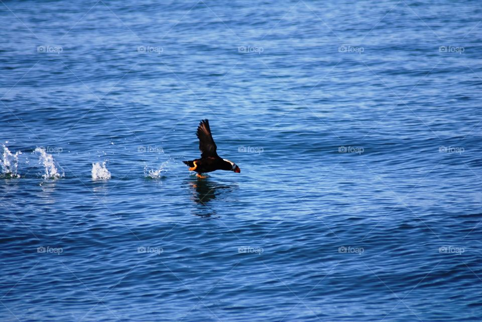 Tufted Puffin running takeoff
