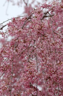 Weeping Cherry Blossom Branches. Weeping Cherry Blossom Branches