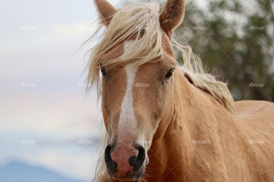 Handsome closeup shot of wild Palomino shot in the high sierras of Nevada
