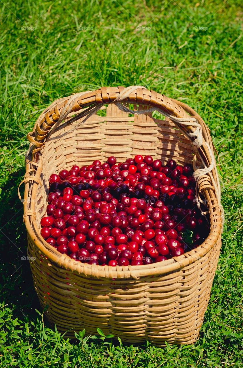 Sour cherries in a basket