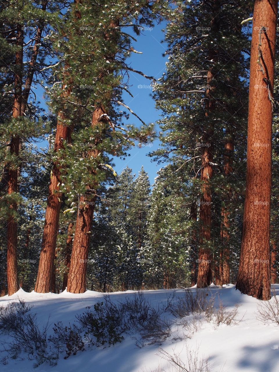 Towering Ponderosa Pine Trees with fresh snow on their branches and the ground on a beautiful winter morning in Central Oregon.
