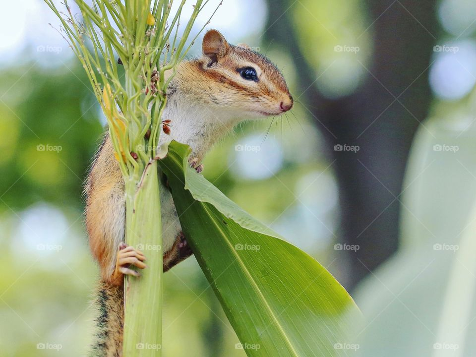 Wild chipmunk on the top of a stock, cute and on the lookout