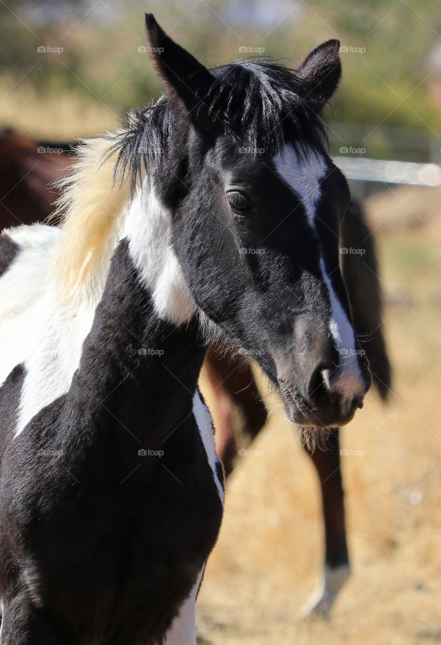 American Paint Horse Black And White