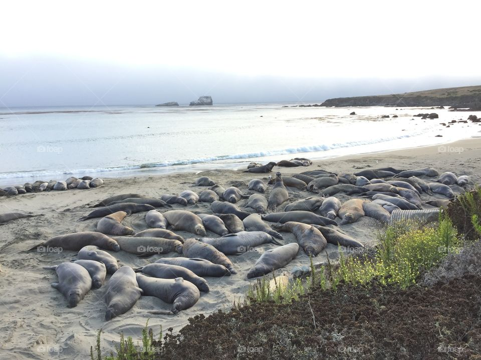 Elephant Seals at Sans Simeon