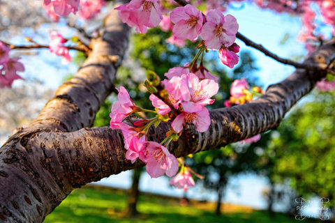 Cherry blossoms flower on tree