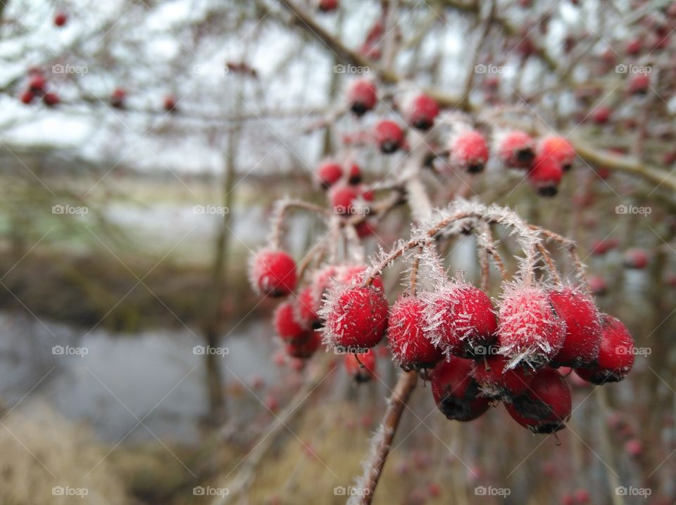 red fruits in the winter