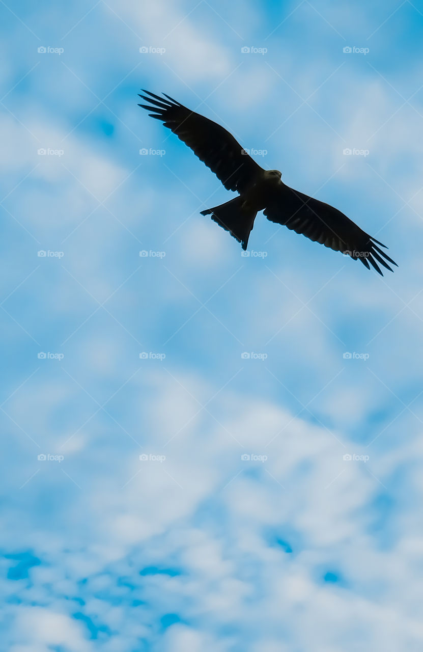 Silhouette of kite bird flying in sky with spreading wings.